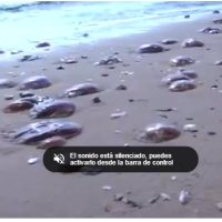 Invasión de medusas en los arenales de Alicante